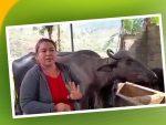 भैँसी पालेर स्वाबलम्बी बन्दै महिला, वार्षिक सातलाख सम्म वचत