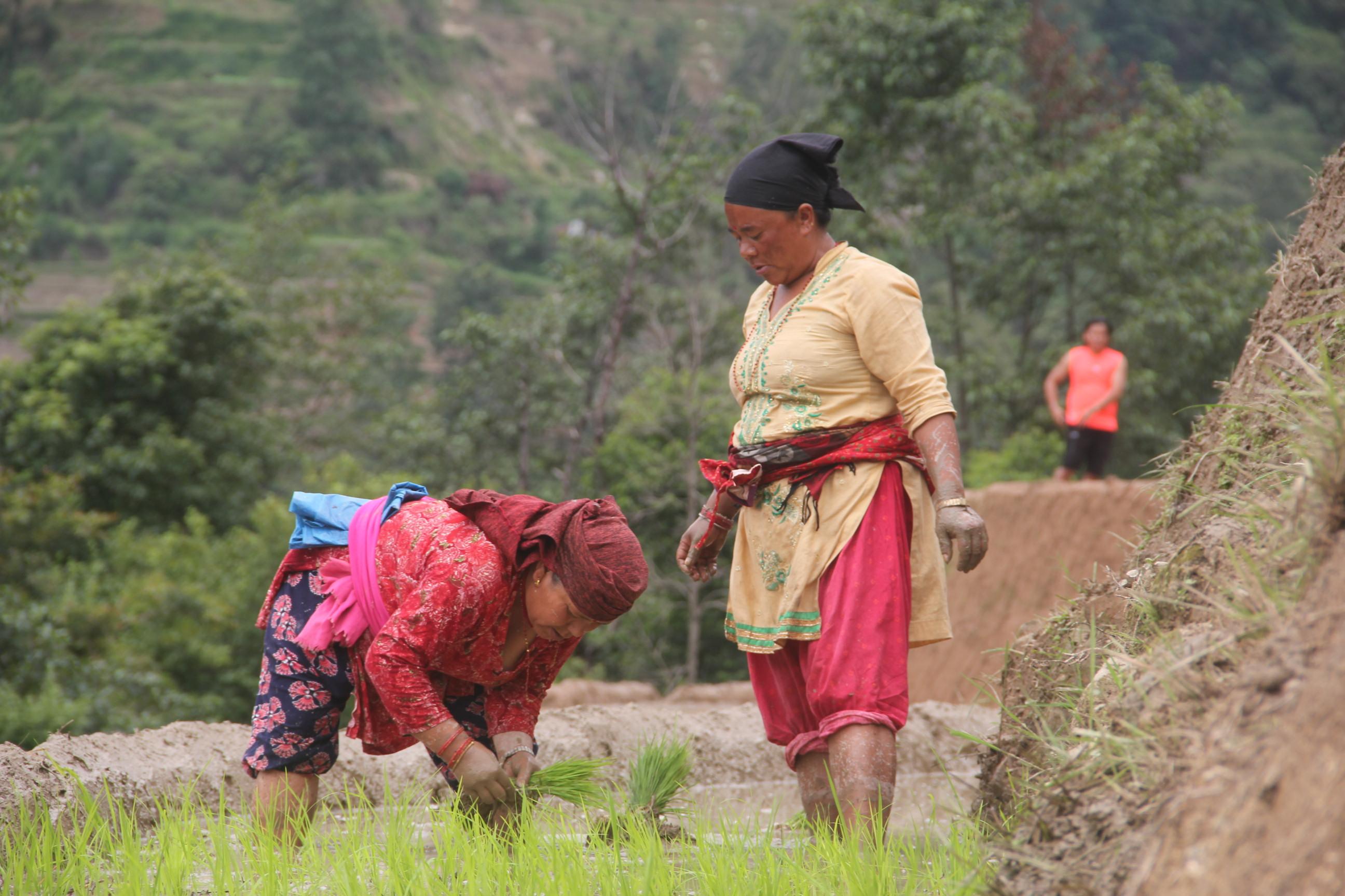 किसानलाई रोपाइको चटारो,काठमाडौँ तिनपिप्लेका किसानहरु धान रोपाई गर्दै